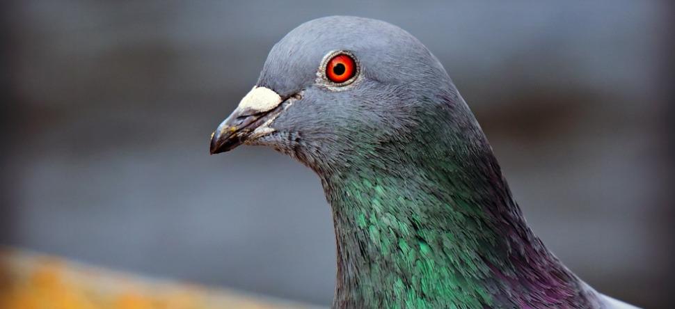 """Résultat de recherche d'images pour """"palmarès Armando pigeons photo"""""""